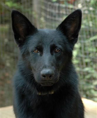 Juveniles for Sale - Black German Shepherd Breeders, Black & Sable GSD Puppies for Sale, dog training for Alabama & Georgia