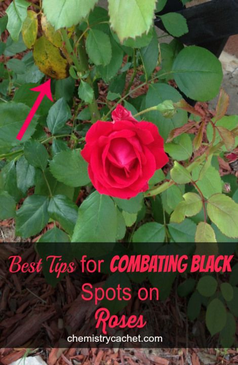 Best Tips for Combating Black Spots on Roses chemistrycachet.com