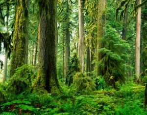 Old Growth Rainforest, Carbon River Valley Mural - Stephen Matera  Murals Your Way