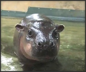 The Most Cutest, Adorable Baby I have ever seen!  Baby Hippos rock!
