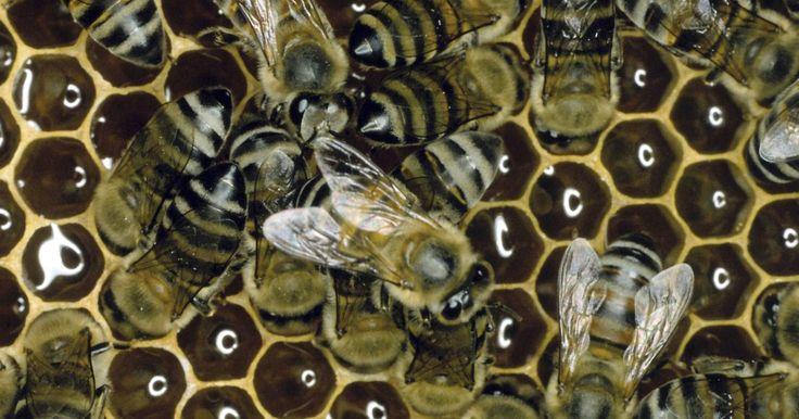 Como derreter cera de abelha. As pessoas têm usado cera de abelha derretida por milhares de anos para uma variedade de usos, desde cosméticos até fabricação de velas e preservação de móveis. Sua versatilidade a fez uma valiosa mercadoria entre as culturas.