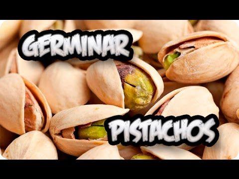 Cómo+germinar+pistachos+en+casa