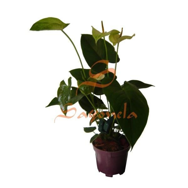 Arreglo compuesto por:        Anturio Flor Verde Amarillo      Base Plástica      Cinta según color