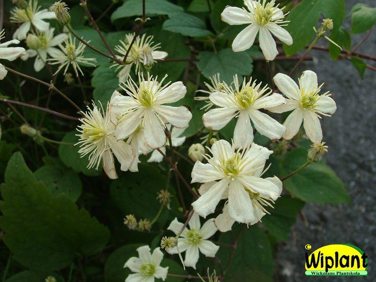 Clematis fargesioides 'Summer Snow'. Massor av vita små blommor på årsväxten, snabbväxande. Bra i våra försök.