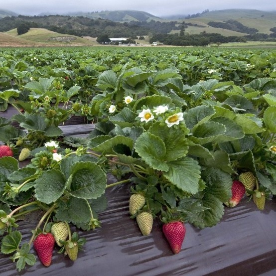 Santa Maria strawberries, California  I lived here. Santa Maria strawberries are the best in the world!