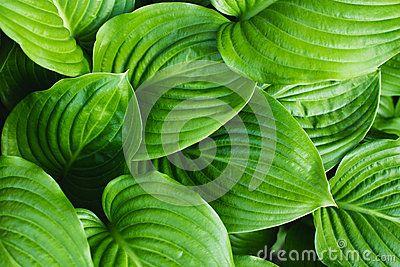 The leaves of Hosta in summer