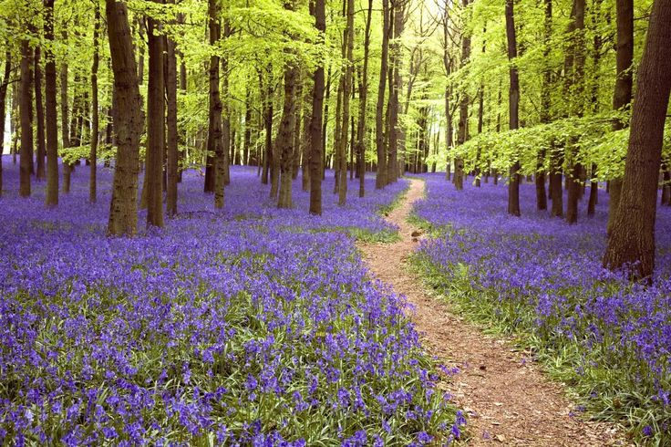 This bluebell forest looks like it's straight out of a fairy tale
