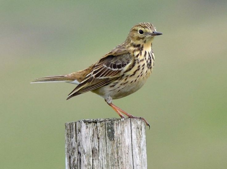 An adult meadow pipit perched on a fence post