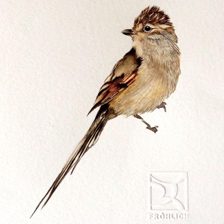 TIJERAL Chilean bird in watercolor #bird #ave #chile
