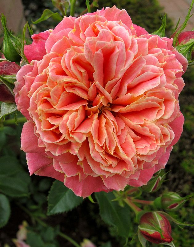 ~'Anne Dakin' climbing rose. . bet it has an amazing