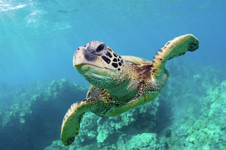 Sea Turtle, Hawaii Photograph by Monica and Michael Sweet