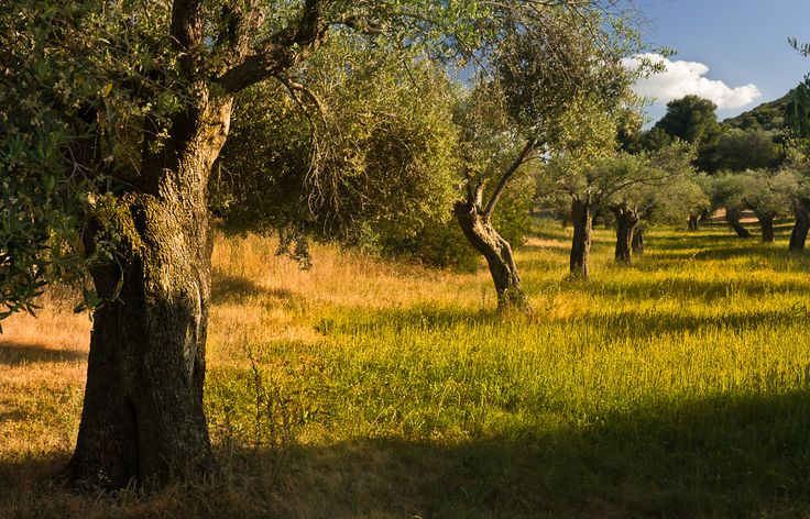 """Olive trees near St. Florent"" by badobaz #flickr #corsica"