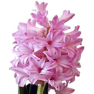 FiftyFlowers.com - Hyacinth Light Pink Flower