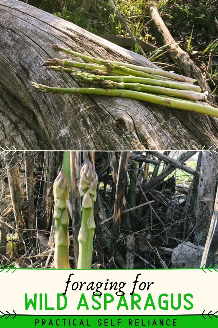 Adventures In Stalking Wild Asparagus In 2020 Asparagus Foraging Bulk Herbs