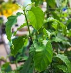 LIVE CHACRUNA AND AYAHUASCA PLANTS IN STOCK! ( PSYCHOTRIA VIRIDIS AND B. CAAPI )