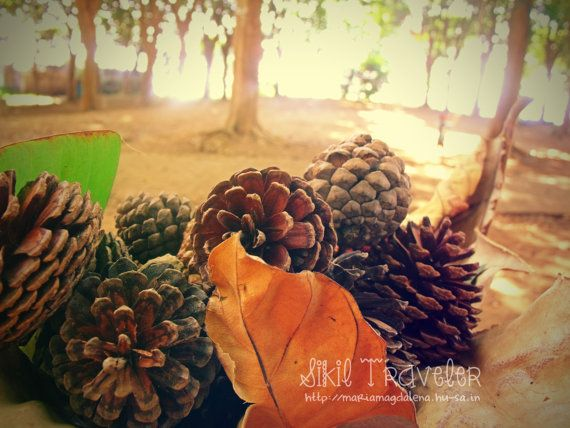 Pinecones. Photostock Downloadable Photography by SikilTraveler