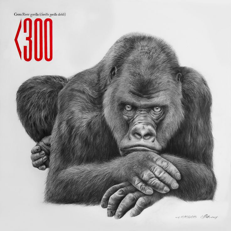 Cross River Gorilla - Charcoal on canvas.  Less than 300 remain