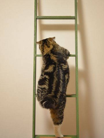Maru climbs up the ladder. And I die of cuteness overload.