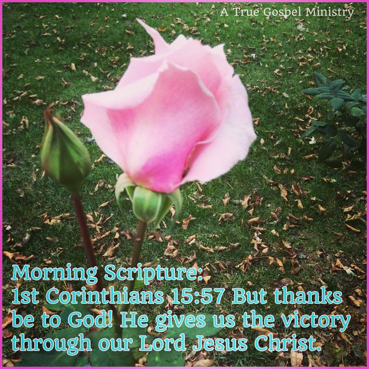 Morning Scripture: 1st Corinthians 15:57 But thanks be to God! He gives us the victory through our Lord Jesus Christ. #morningscripture #scripturequote #biblequote #instabible #instaquote #quote #seekgod #godsword #godislove #gospel #jesus #jesussaves #teamjesus #LHBK #youthministry #preach #testify #pray #praise #rollin4Christ #victory #atruegospelministry