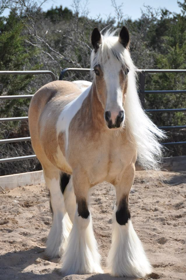 This little Gypsy mare is beyond perfect. Buttermilk buckskin, black points, long flowing mane. absolutely stunning