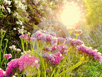 A view of Sea Lavender and Jasmine flowers in a garden at sunset.
