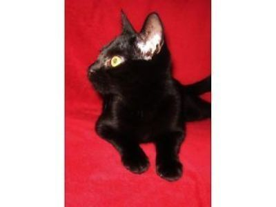 Black kitten for sale in Norwich reluctantly selling this adorable ... Norwich