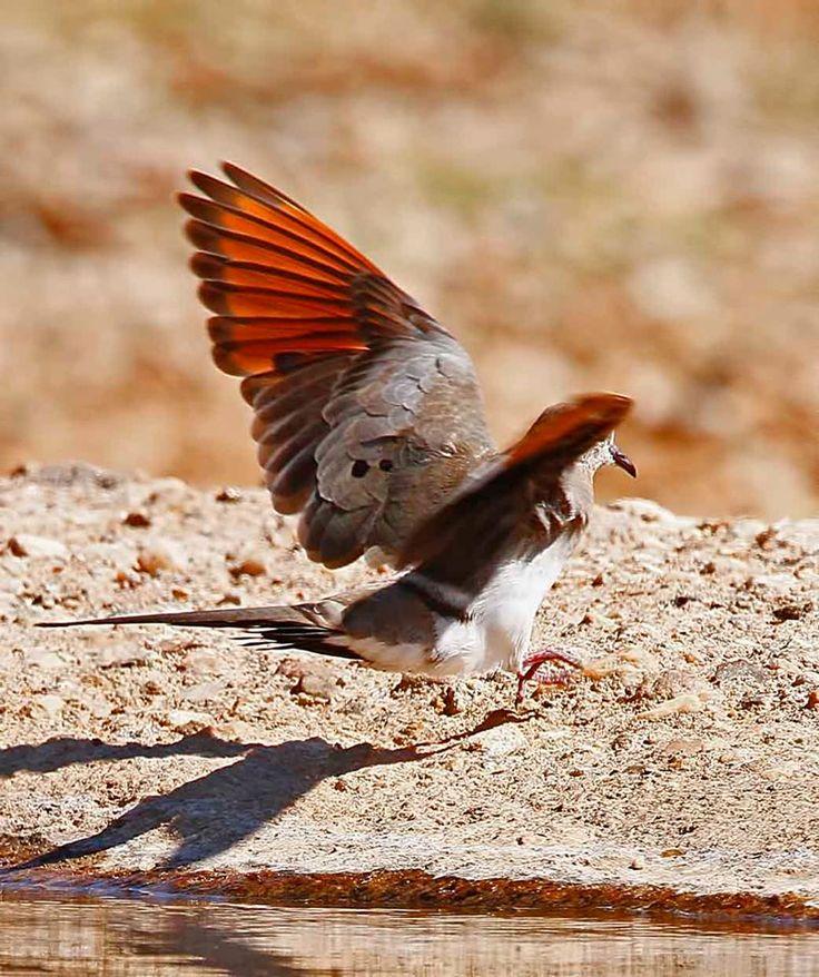 Namaqua Dove Oena capensis Namakwaduifie via Chris Krog
