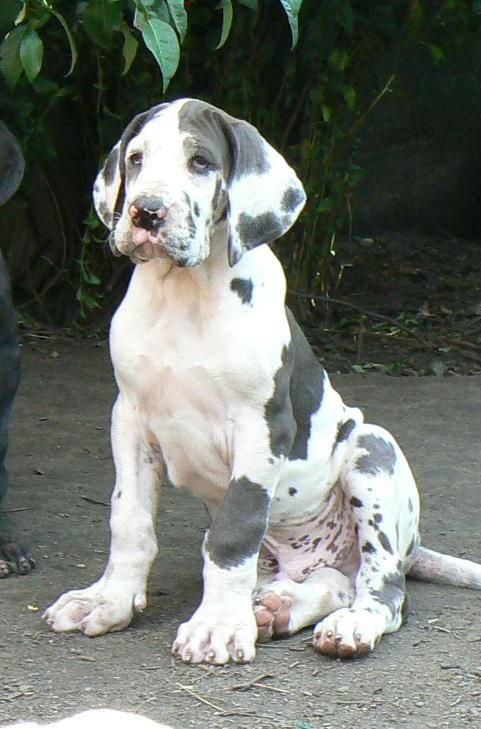 Great Dane Puppy... look at those paws!