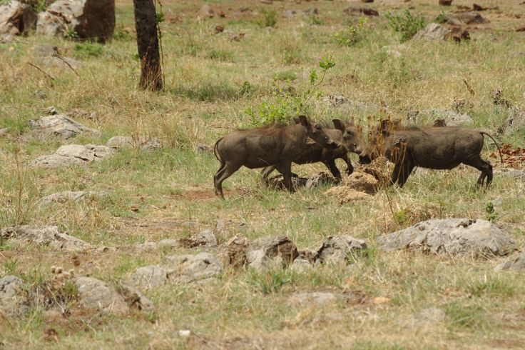 Warthogs in the camp