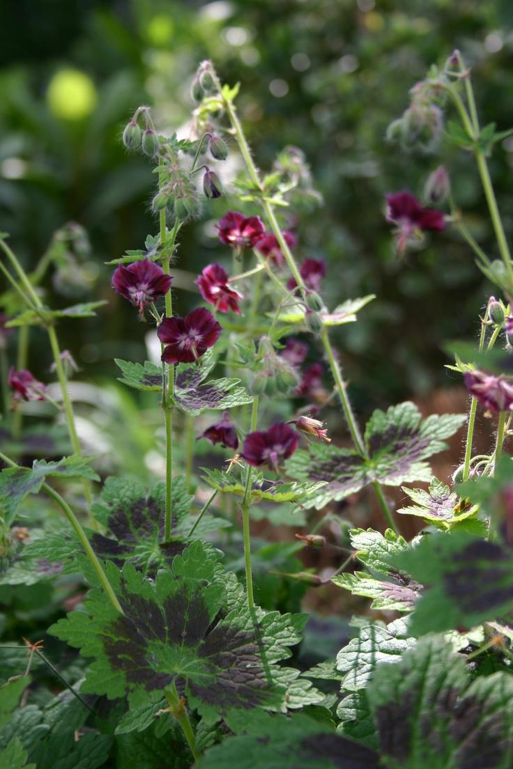 KGA: Geranium Phaeum 'Samobor' (winterhart): Green-purple foliage. For semishade in every kind of soil. Great combo with Aquilegia 'William Guiness'