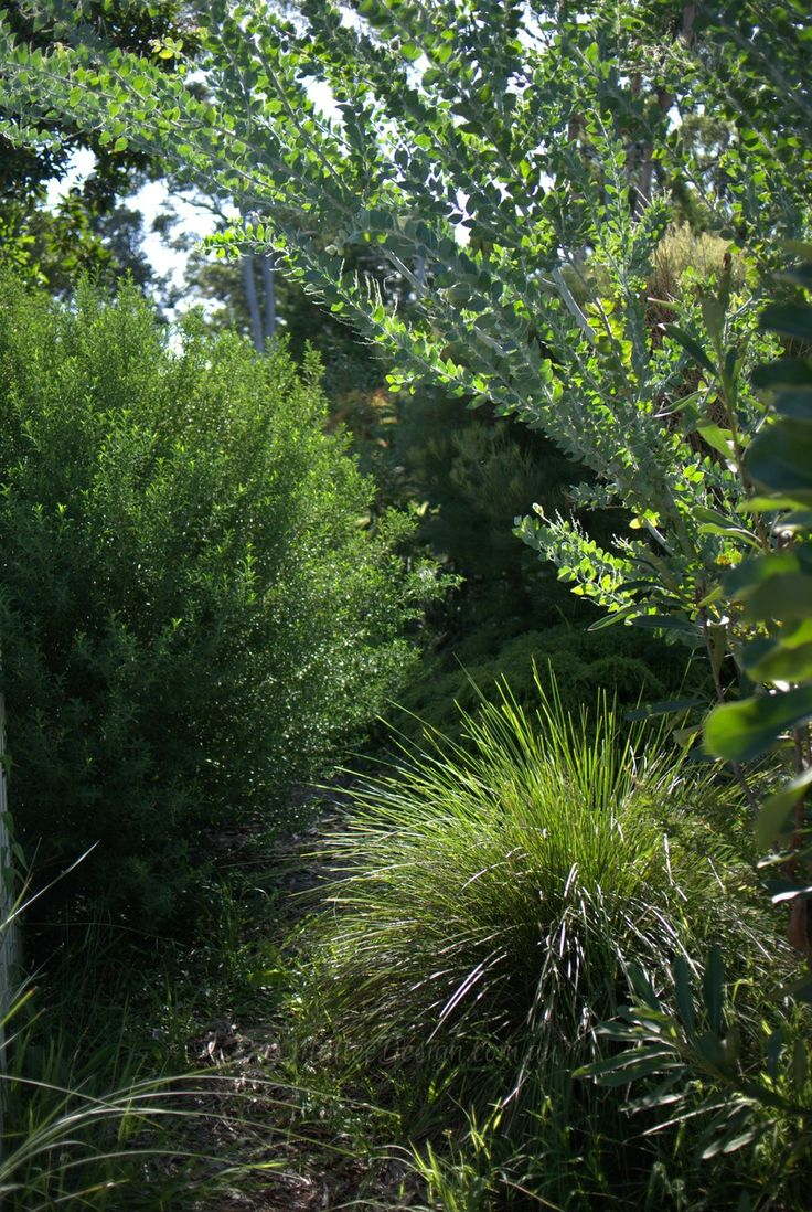 17 Best Images About Australian Native Garden On Pinterest