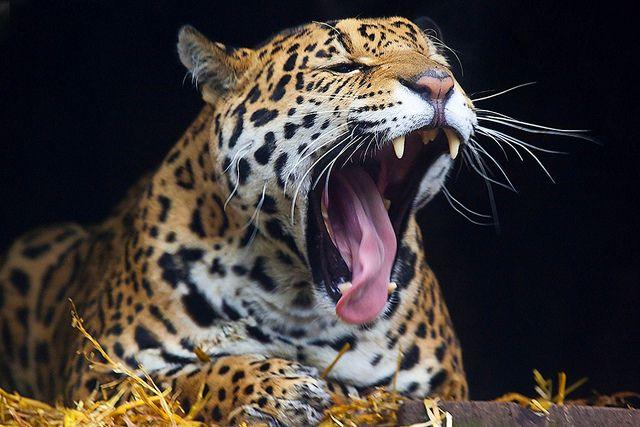 Nach dem Tiger und dem Löwen ist der Jaguar die drittgrößte Raubkatze der Welt. Seine Kopf-Rumpf-Länge beträgt 112 cm bis 185 cm, hinzu kommt ein 45–75 cm langer Schwanz. Die Schulterhöhe liegt im Durchschnitt bei etwa 70 cm.