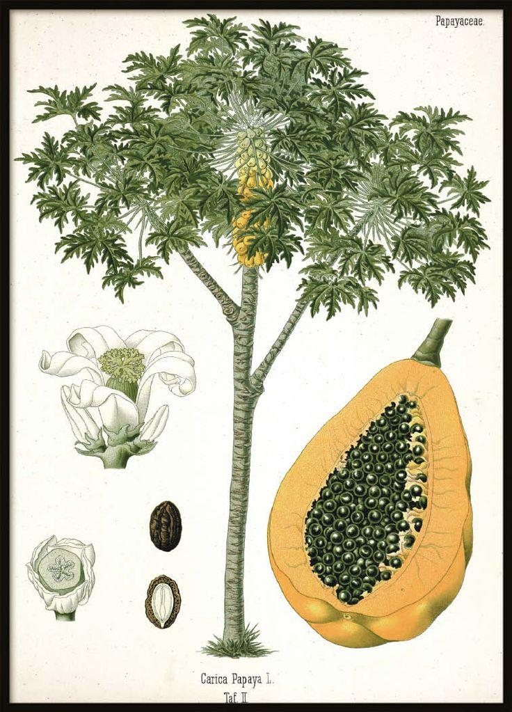 Vintage poster Papaya   Botanical Prints Online