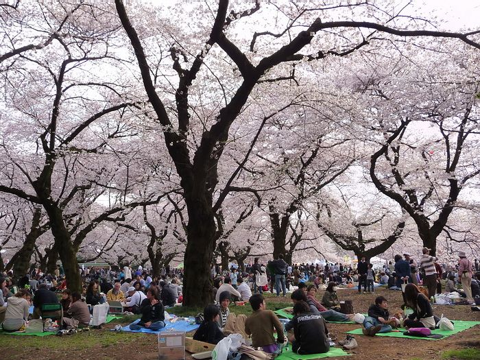 Sakura @ Koganei Park