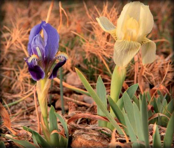 Spatial distribution of genetic variation in the flower colour polymorphic Iris lutescens