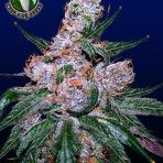 blueberry - former winner of cannabis cup