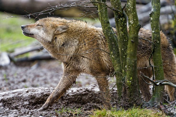 nike tennis tops women This brown wolf looks delighted to walk besides the trees  under the rain