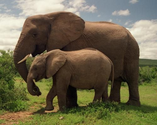 Elephants have the longest gestation period of all mammals, carrying their young for nearly two years before giving birth. Long developmental periods are common among highly intelligent animals. Since elephants are the largest living and biggest-brained land animal in the world, there's a lot of developing for elephants to do in the womb.