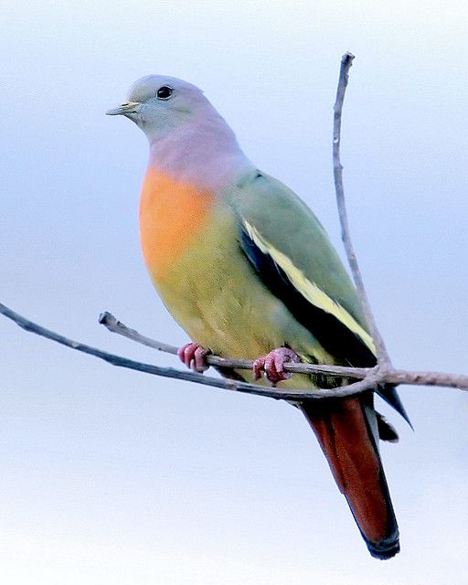 The Pink-necked Green Pigeon is a species of pigeon. It is found in Cambodia, Indonesia, Malaysia, Myanmar, the Philippines, Singapore, Thailand, and Vietnam. Its natural habitats are subtropical or tropical moist lowland forests, subtropical or tropical mangrove forests, and subtropical or tropical moist montane forests. ~Wikipedia