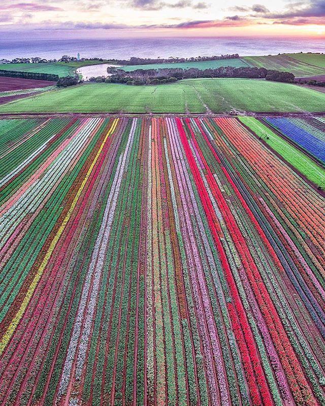 Carpet of tulips, Table Cape Tasmania