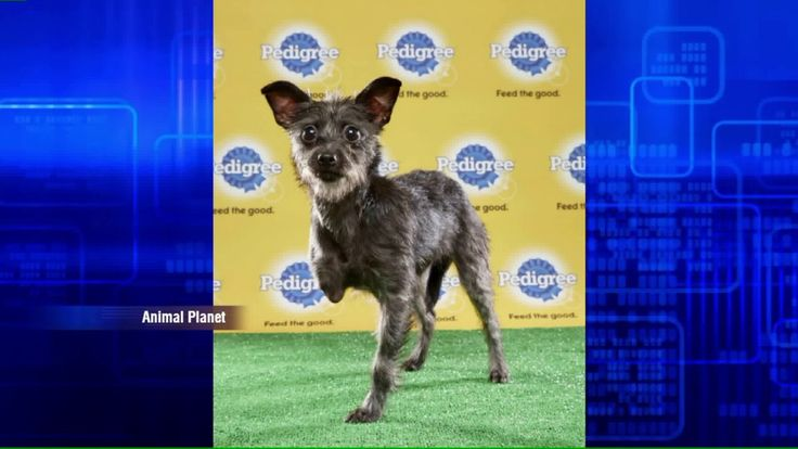 Animal Planet's Puppy Bowl 2017 will feature 3 dogs with special needs http://fox6now.com/2017/01/04/animal-planets-puppy-bowl-2017-will-feature-3-dogs-with-special-needs/