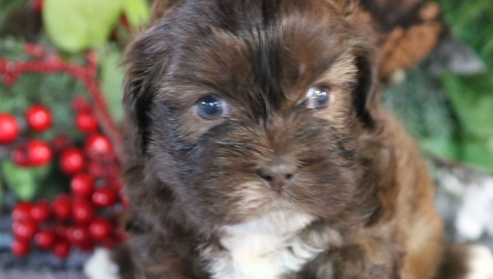 Bubba A Male Shihpoo Puppy For Sale In Nappanee In Find Cute