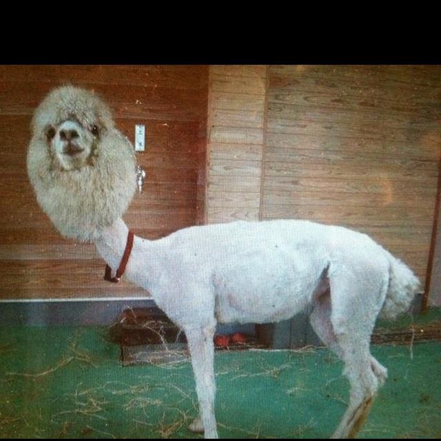 Best 25 Baby Llama Ideas On Pinterest: Best 25+ Shaved Llama Ideas On Pinterest