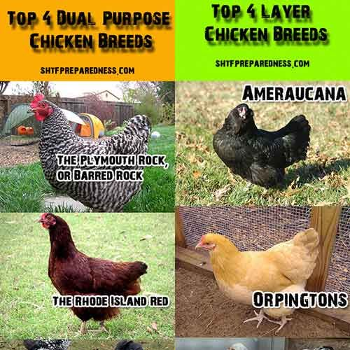 3 of these are in our flock of 7 (Barred Plymouth Rock, Rhode Island Red & Americana (Easter Egger)) -Sam.............Top 4 Dual Purpose Breeds And Laying Chicken Breeds - with infographs