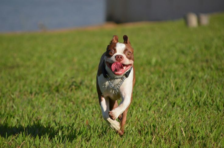 He loves to run around - Thor the red boston from brazil - https://www.facebook.com/bterrierdogs