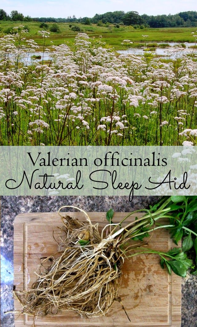 Get to sleep naturally withValerian officinalis - a natural sleep herb that you can grow in your own garden #sleep