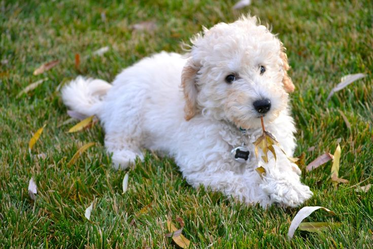 The Labradoodle dog is a hybrid between a Poodle and a Labrador Retriever. This mixed dog can have the looks, temperament, intelligence, health issues from either parent, so they're a bit unpredictable in that regard. The physical traits of the Labradoodle can vary as well, so you can get one with a coat that is …
