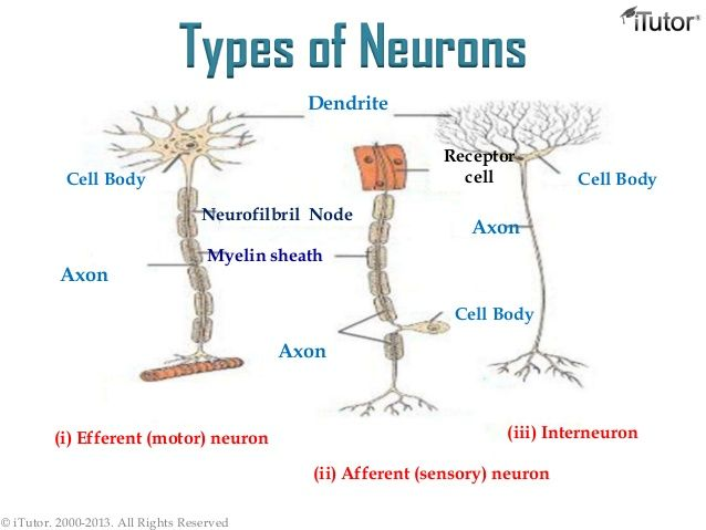 15 best neuroscience central nervous system cns images on types of neurons ccuart Images