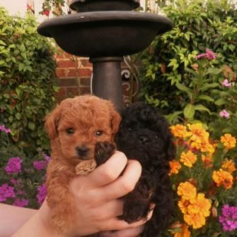 teacup poodle babies!  I have to say poodles are the best dogs having a teacup ourselves!