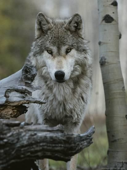 Beautiful Portrait of a Gray Wolf, Canis Lupus Photographic Print by Jim And Jamie Dutcher at Art.com